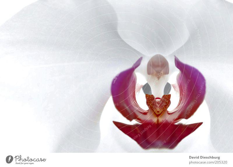 Orchidee elegant Stil schön Leben harmonisch ruhig Duft Natur Pflanze Frühling Sommer Blume Blüte exotisch violett rosa weiß Orchideenblüte Blühend sanft rein