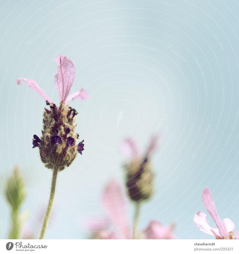 Mädchenfarben Umwelt Natur Pflanze Himmel Sommer Blume Blüte Nutzpflanze Lavendel Heilpflanzen Blühend Wachstum schön violett rosa Duft Pastellton Blütenblatt
