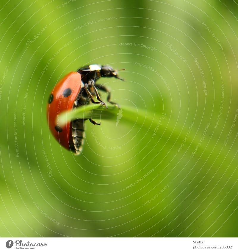 schön festhalten Natur Sommer Pflanze Gras Grasspitze Halm grasgrün Tier Käfer Marienkäfer Käferbein Insekt hängen krabbeln rot Glück Sommergefühl Glücksbringer