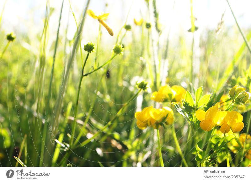 Blumenwiese Duft Natur Pflanze Sonnenlicht Frühling Sommer Schönes Wetter Gras Blüte Blühend leuchten natürlich schön gelb grün weiß Wachstum Wiese Farbfoto