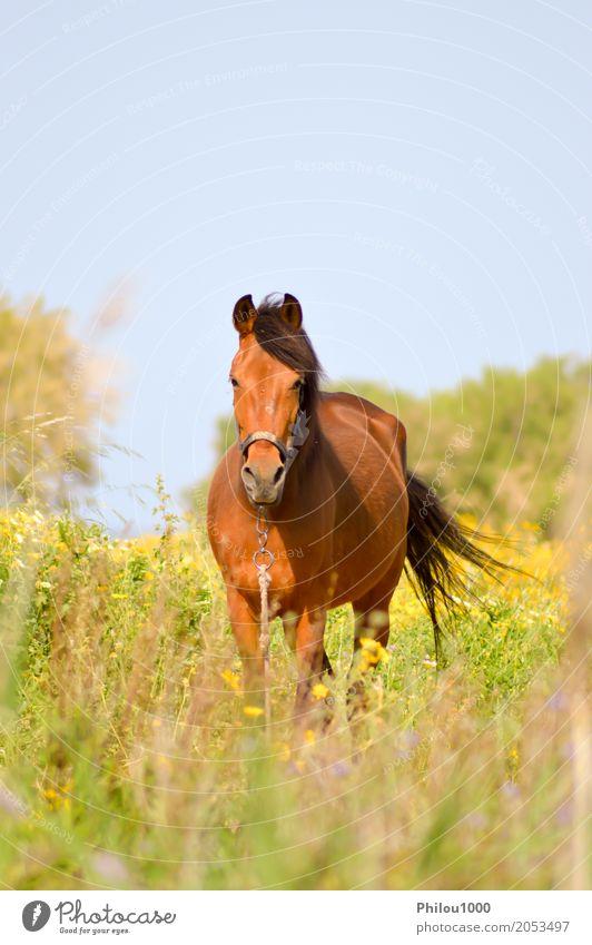 Brown-Pferd in einer Wiese gefüllt Sommer Sport Natur Tier Gras Haustier 1 beobachten wild braun grün schwarz weiß Neugier elegant Braunes Pferd Hintergrund