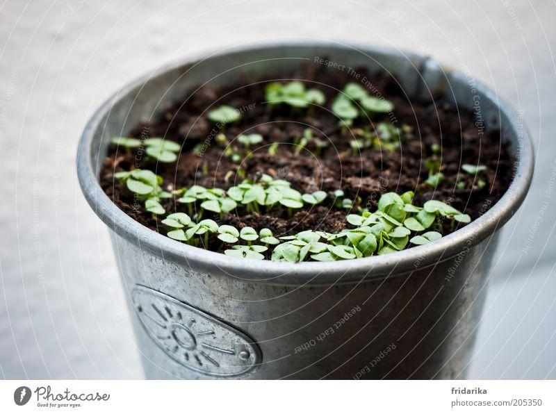 aussaat ganzjährig ... Natur grün Pflanze Blatt ruhig grau klein braun Erde Wachstum Kräuter & Gewürze Bioprodukte silber Vorfreude Blumentopf geduldig