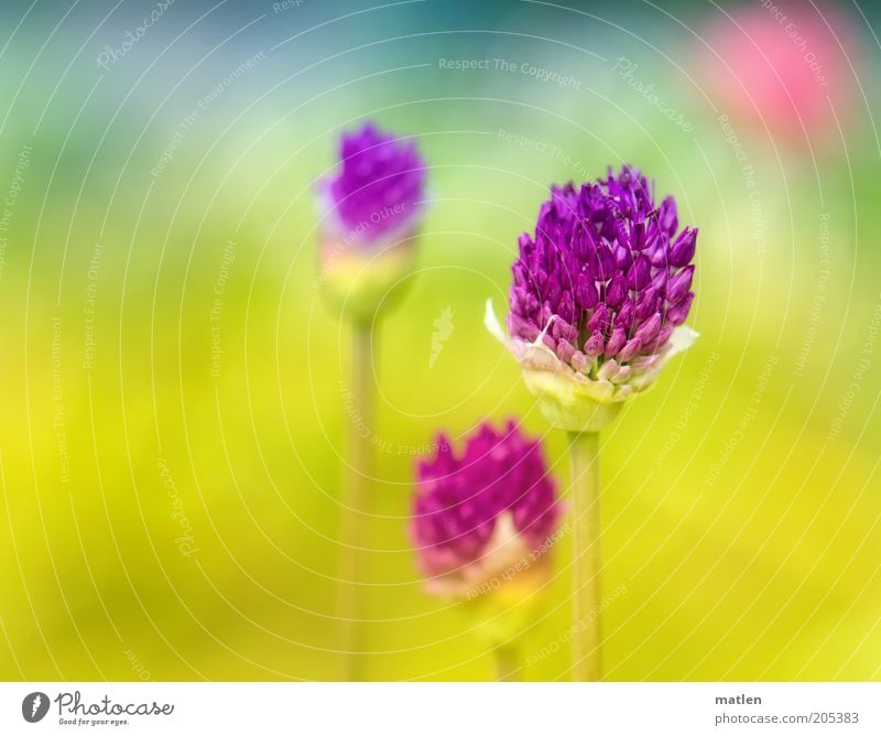 rapture Natur grün blau Pflanze Sommer gelb Farbe Blüte Wärme rosa violett Blühend trashig mehrfarbig Euphorie Frühlingsgefühle