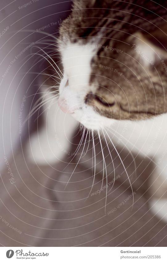 Blicke zurück... Tier Haustier Katze Tiergesicht Fell Pfote 1 ruhig Hauskatze Schnurrhaar Katzenkopf beobachten Wachsamkeit Schnurren edel Anmut Vertrauen