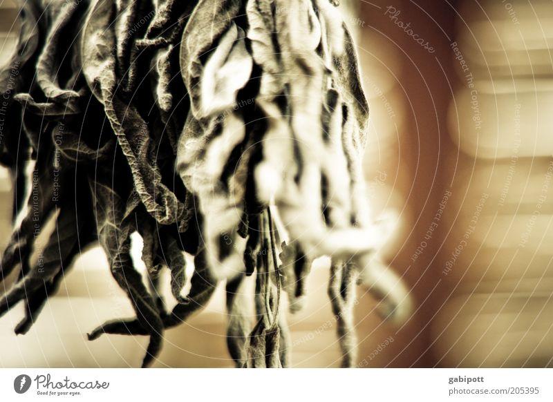 abhängen Natur Kräuter & Gewürze Duft trocken Teepflanze Licht getrocknet Geruch aromatisch Heilpflanzen Nutzpflanze Haltbarkeit konserviert duftig
