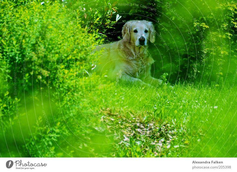 Blondine im Grünen. Umwelt Natur Pflanze Tier Frühling Sommer Schönes Wetter Sträucher Garten Hund 1 liegen sitzen Rasen grün Labrador beige Fell Farbfoto