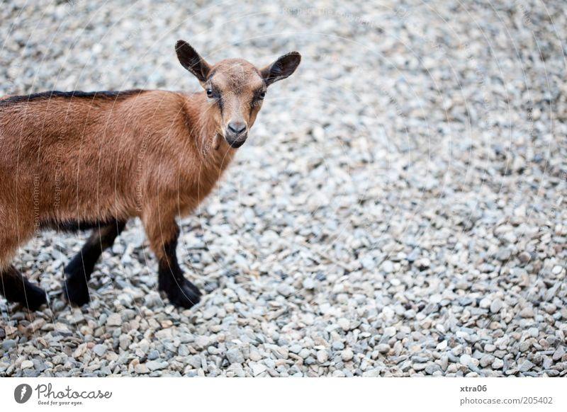 willste was? Tier Nutztier Tiergesicht Fell Zoo Streichelzoo Ziegen 1 Tierjunges Blick natürlich Neugier niedlich braun Farbfoto Außenaufnahme