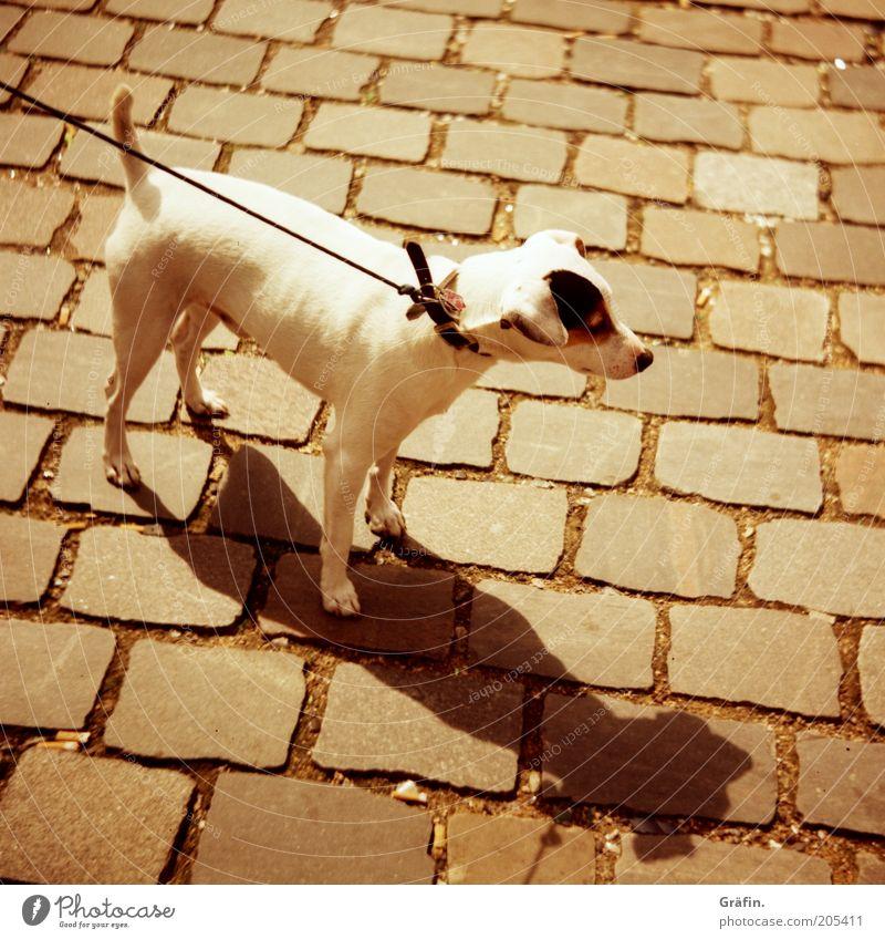 Hund Tier Haustier 1 Blick Neugier niedlich braun Tierliebe Wachsamkeit Kontrolle ziehen Hundehalsband weiß Kopfsteinpflaster Schatten Außenaufnahme