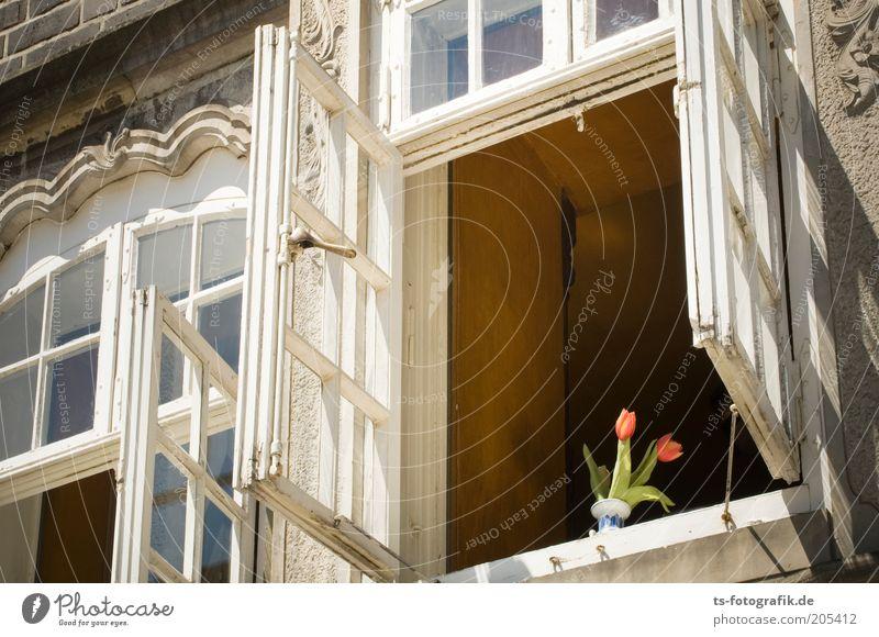 Neugierige Tulpen Blume Haus Fenster Gebäude Architektur ästhetisch Tulpe Altbau mehrfarbig Fensterrahmen lüften Fenstersims Fensterplatz Fensterdekoration