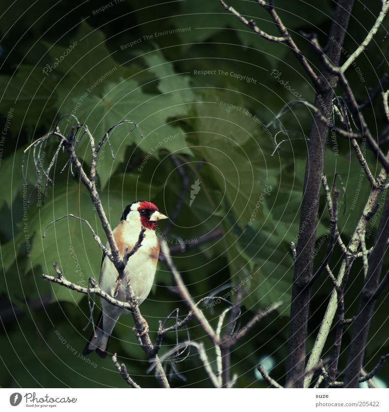 Dorr Stieglitz Natur grün Baum Tier Blatt klein Vogel natürlich Wildtier sitzen Feder niedlich Ast Tiergesicht Zweig Baumkrone