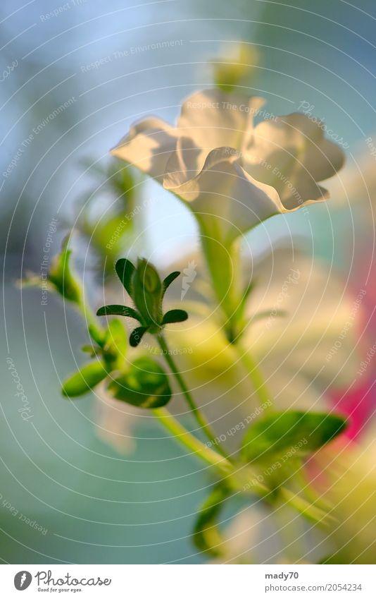 Petunie Blumen und Sonnenuntergang in der Sommerzeit schön Garten Gartenarbeit Natur Pflanze Blatt Blüte Wachstum hell natürlich grün weiß Farbe Petunien