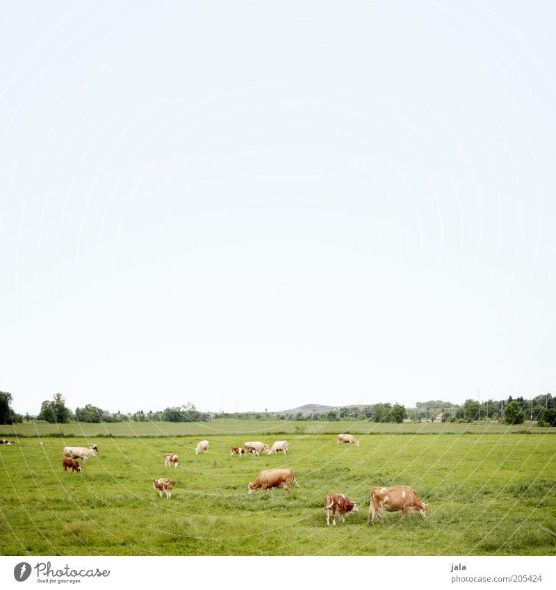 kuhweide Landschaft Himmel Pflanze Baum Gras Wiese Feld Weide Tier Nutztier Kuh Tiergruppe Herde blau grün Fressen Farbfoto Außenaufnahme Menschenleer