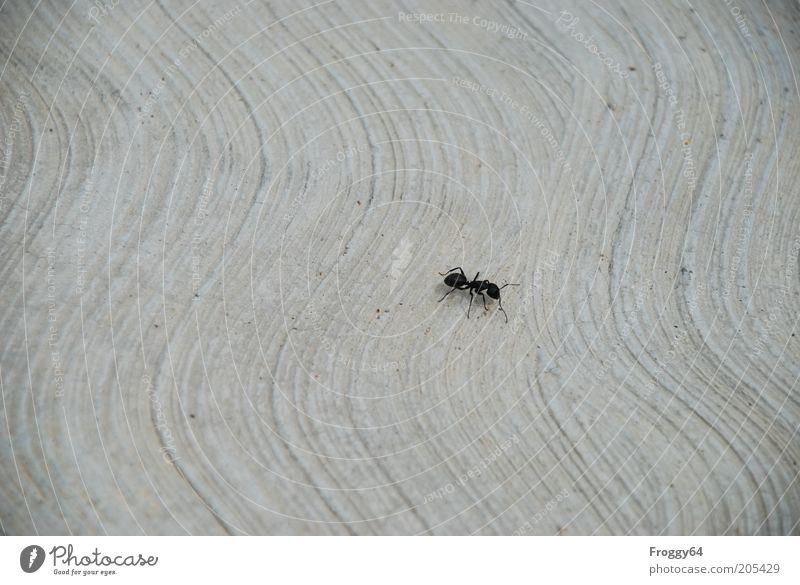Emsig Umwelt Tier Wildtier 1 krabbeln grau schwarz fleißig Ausdauer Gedeckte Farben Außenaufnahme Nahaufnahme Textfreiraum links Textfreiraum oben