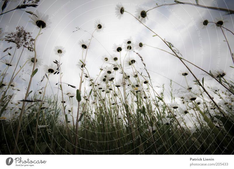 summer breeze Umwelt Natur Landschaft Pflanze Urelemente Himmel Klima Wetter Schönes Wetter Blume Grünpflanze Wildpflanze Wiese Feld schön Margerite Blumenfeld