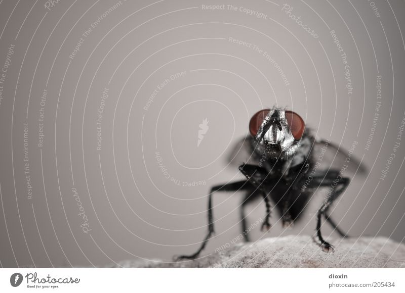 Puck (Brachycera) Felsen Fliege Tiergesicht Flügel 1 sitzen warten klein grau rot schwarz Natur Insekt Facettenauge Beine Stein Parasit Schmeißfliege Farbfoto