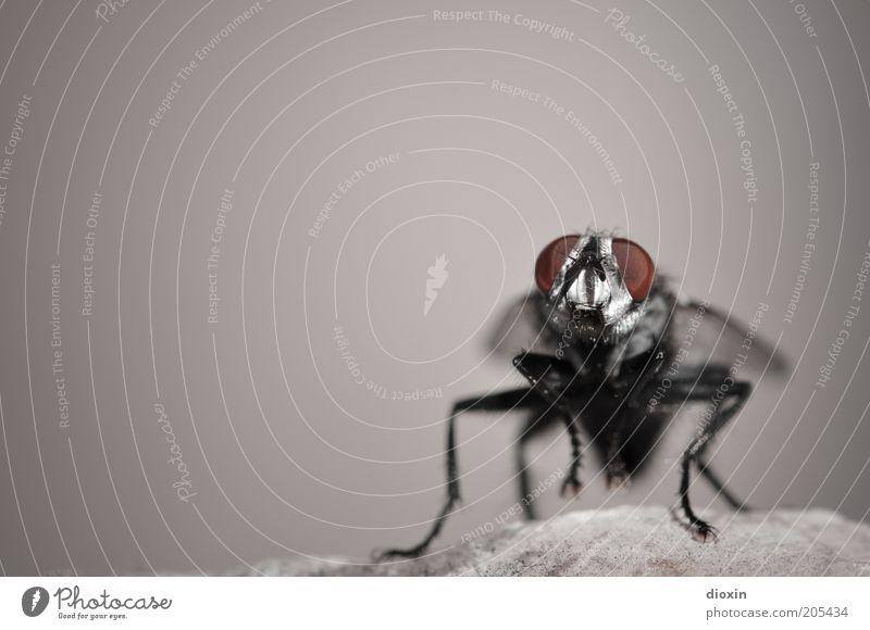 Puck (Brachycera) Natur rot schwarz Tier grau Stein Beine warten klein Fliege Felsen sitzen Tiergesicht Flügel Insekt Textfreiraum links