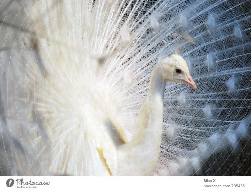 Pfau schön weiß Tier Vogel ästhetisch Feder Zoo Stolz Hochmut eitel Brunft Albino Pfauenfeder