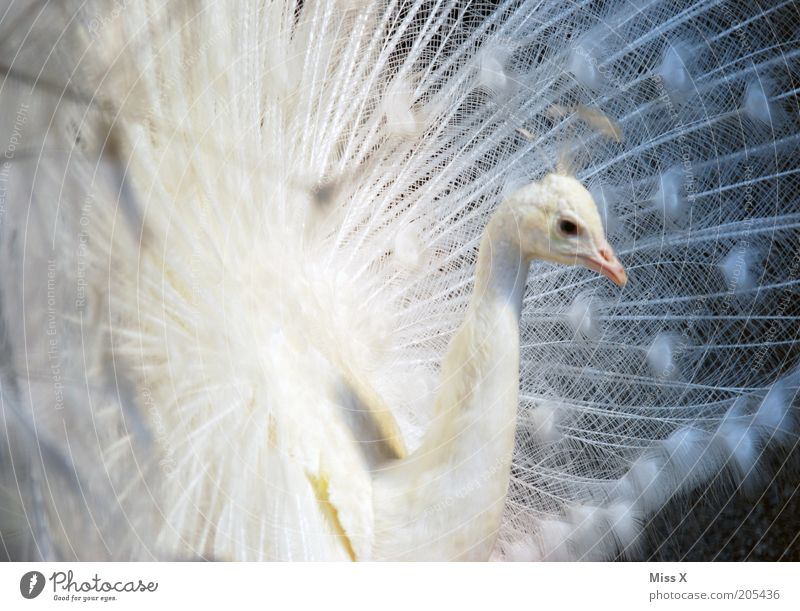 Pfau Tier Vogel Zoo 1 Brunft ästhetisch schön weiß Hochmut Stolz eitel Feder Pfauenfeder Albino Farbfoto Außenaufnahme Schwache Tiefenschärfe Tierporträt Tag