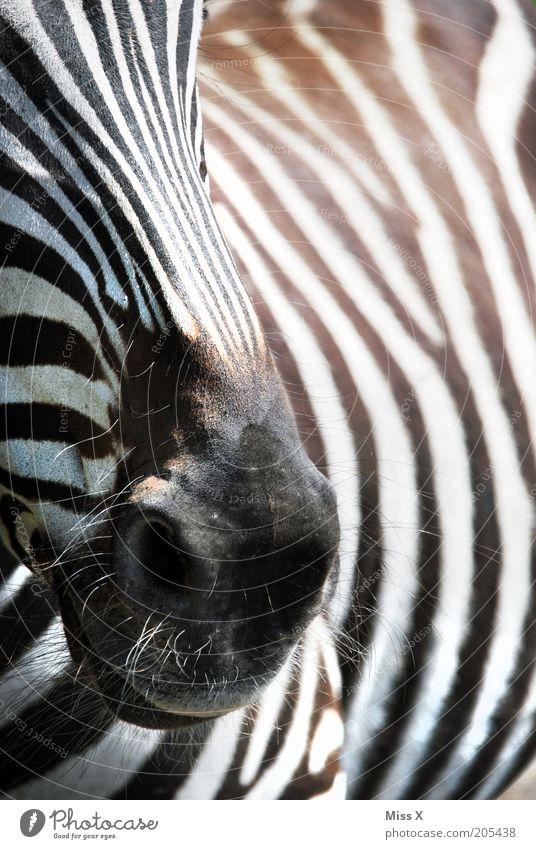 Diegos aktuelles Lieblingstier Tier Wildtier 1 schwarz weiß Zebra Streifen Nüstern Fell Farbfoto Schwarzweißfoto Außenaufnahme Nahaufnahme Detailaufnahme Muster