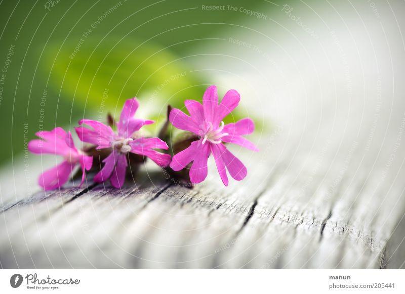 Postkarte Natur schön Blume Pflanze Sommer Blüte Frühling hell rosa Duft Blütenblatt Wildpflanze Wiesenblume Frühlingsblume Nelkengewächse Sommerblumen
