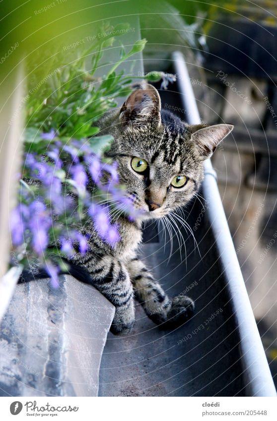schöne regenrinne weiß ruhig schwarz Tier Erholung Fenster grau Katze Zufriedenheit braun elegant weich beobachten Fell niedlich