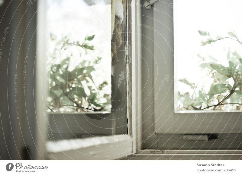 Fenster alt Pflanze Glas Sträucher nah Fensterscheibe Altbau abblättern Fensterbrett Reflexion & Spiegelung Fensterrahmen Scharnier Holzfenster