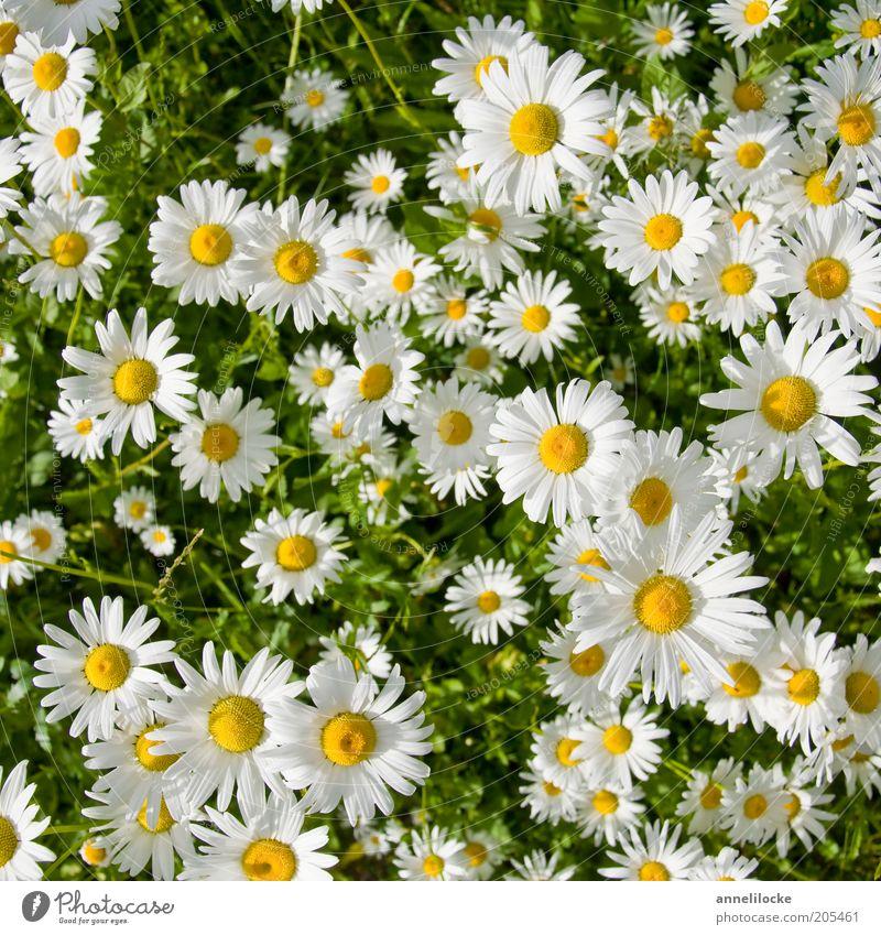 Der Sonne entgegen Umwelt Natur Pflanze Sommer Blüte Wildpflanze Margerite Blütenblatt Wiese Wachstum schön gelb weiß Farbfoto Außenaufnahme Nahaufnahme Tag