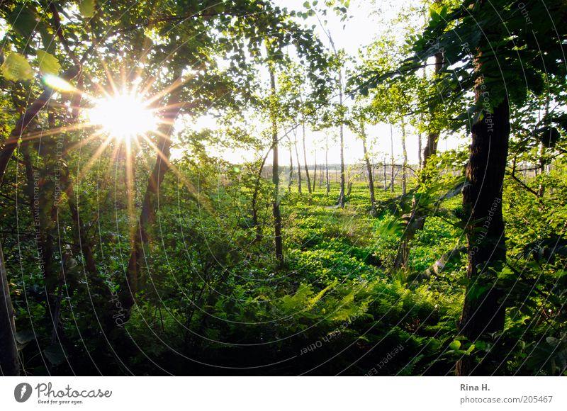 Sonnenuntergang im Moor Umwelt Natur Landschaft Pflanze Sommer Baum Sträucher Grünpflanze Wildpflanze Wald Sumpf Quickborn leuchten grün Gefühle Farbfoto