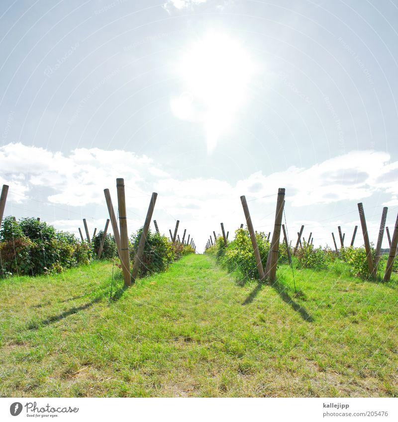 jahrgang 2010 Sonne Pflanze Umwelt Frucht Wachstum Wein Klima reif Wirtschaft Schönes Wetter Ackerbau Qualität Weintrauben Weinberg Menschenleer Landwirtschaft