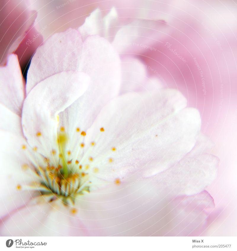 Rosa Natur Pflanze Blüte Frühling rosa zart sanft Stempel Blütenblatt Kirschblüten Pastellton Makroaufnahme