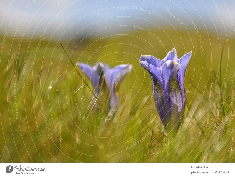 Enzian auf der Alm Natur Blume Pflanze Sommer Blüte Stimmung violett Blütenkelch Wildpflanze Wiesenblume Enziangewächse