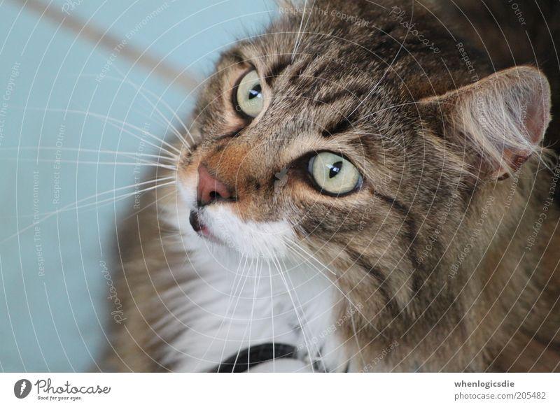 Katze Tier Haustier 1 ästhetisch dick kuschlig Neugier braun grau weiß Farbfoto Tag Starke Tiefenschärfe Tierporträt Blick nach vorn Blick nach oben Wegsehen