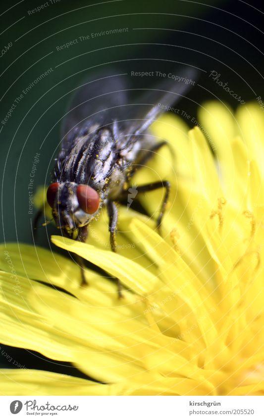harmlos Umwelt Natur Pflanze Tier Blume Löwenzahn Fliege Schmeißfliege warten klein nah Insekt Farbfoto Außenaufnahme Detailaufnahme Makroaufnahme Unschärfe