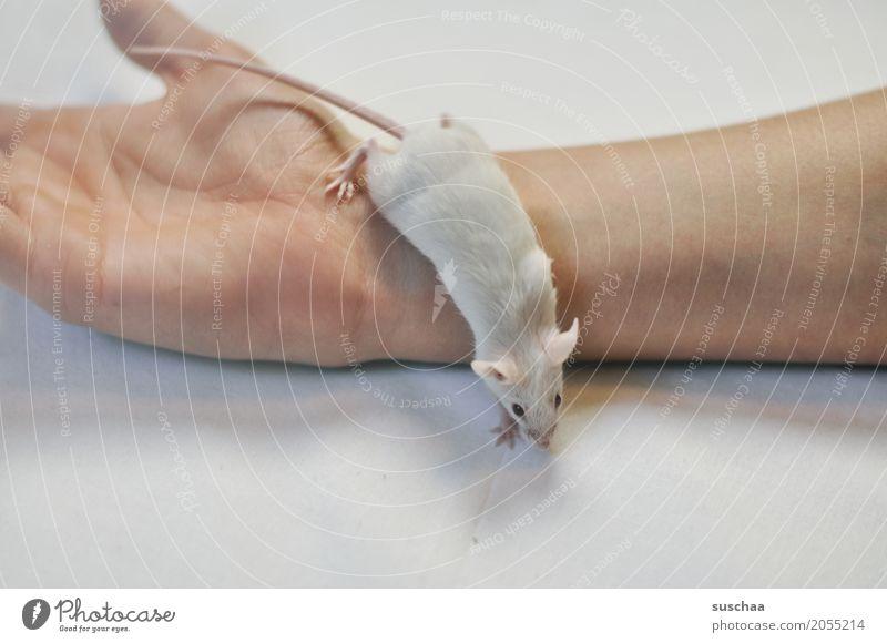 maus und hand Hand Finger Haustier Maus Ekel niedlich weiß Schutz Angst halten Nagetiere Säugetier Schwanz zerbrechlich furchtsam winzig süß Hintergrund neutral