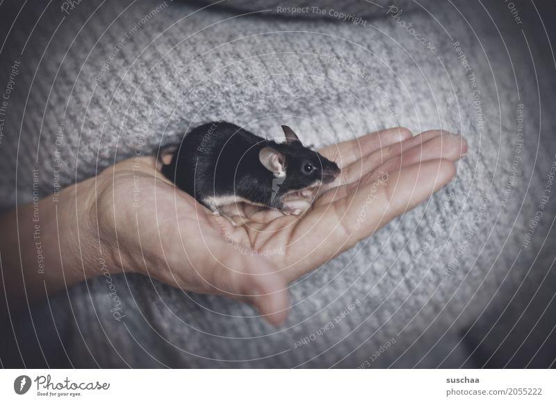 schwarze maus Hand Angst Haut Finger niedlich Schutz festhalten Haustier Säugetier Maus Ekel Schwanz zerbrechlich Nagetiere winzig