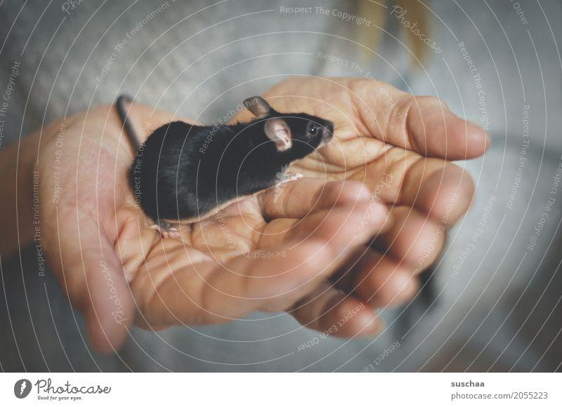 schwarze maus Hand Finger Haut festhalten Maus Nagetiere Säugetier Haustier Schwanz Fell Schutz zerbrechlich Angst winzig niedlich süß Ekel