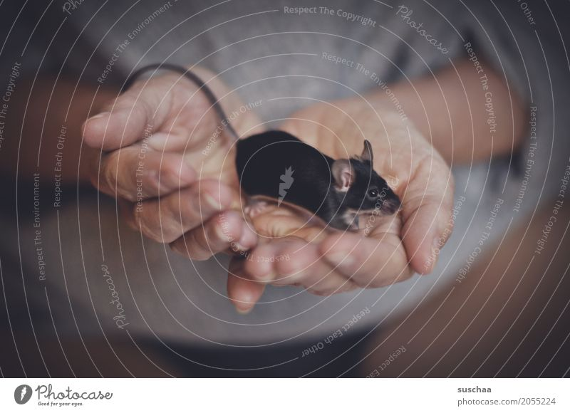 schwarze maus Hand Finger Haut festhalten Geruch Maus Nagetiere Säugetier Haustier Schwanz Fell Schutz zerbrechlich furchtsam winzig niedlich süß Ekel Angst