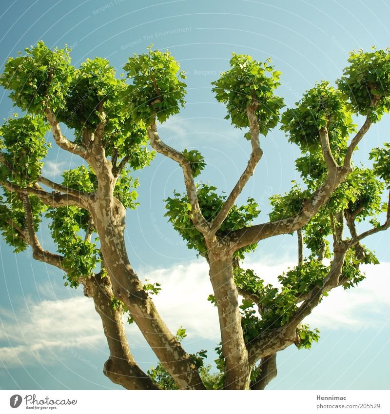 Dickköpfe. Himmel Natur blau grün Baum Sommer Blatt Leben Frühling Wachstum Klima Ast Baumkrone Vernetzung Geäst Pflanze