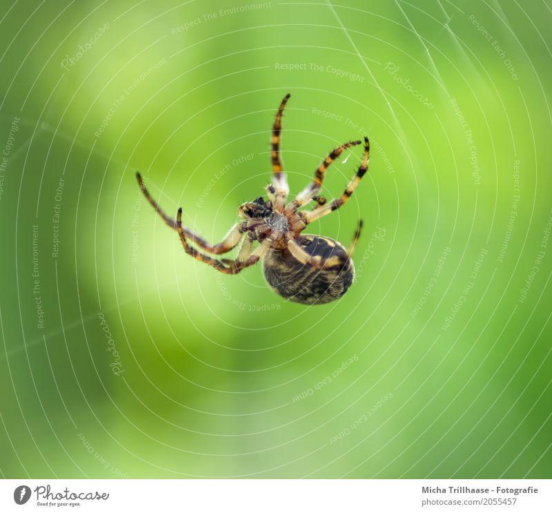 Kleine Spinne im Spinnennetz Natur grün Sonne Tier schwarz Umwelt gelb natürlich Bewegung Beine klein orange Angst Wildtier warten Schönes Wetter