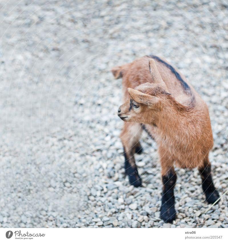 ruft da jemand? Tier Nutztier Ziegen Zicklein 1 natürlich niedlich Farbfoto Außenaufnahme Textfreiraum links Tag