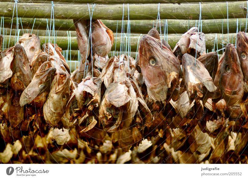 Island Lebensmittel Fisch Tier hängen Ekel gruselig Tod trocknen Ernährung Stockfisch Schnur Fischtrockengestell Farbfoto Außenaufnahme Tag Fischkopf