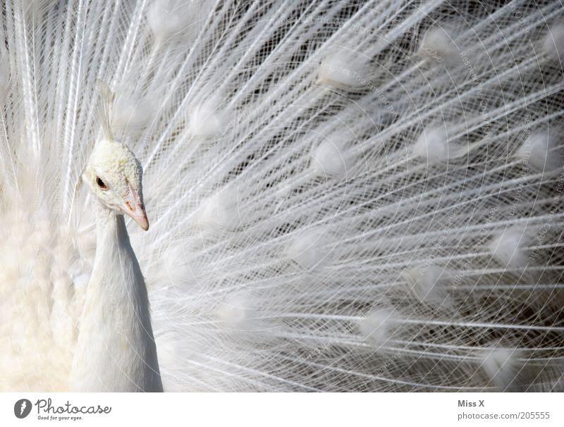Albino Tier Vogel 1 Brunft exotisch schön weiß Hochmut Stolz rein Pfau Pfauenfeder Feder Farbfoto Gedeckte Farben Nahaufnahme Menschenleer Tierporträt Blick