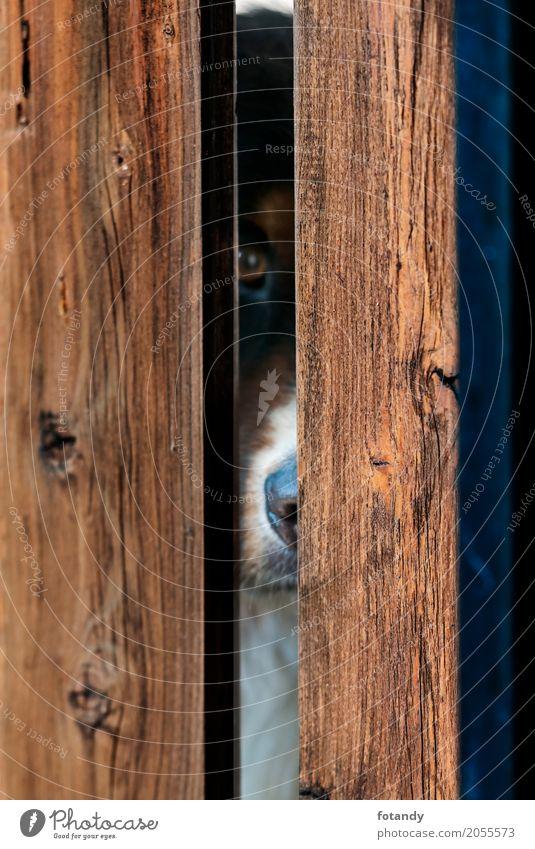 Bernese Dog behind Fence Hund Tier Holz außergewöhnlich braun beobachten Haustier Tiergesicht Fährte