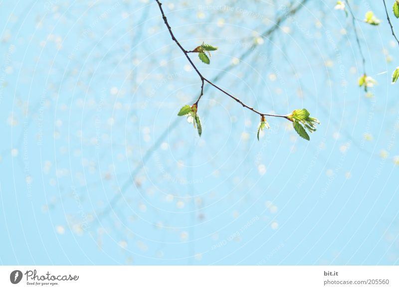 Tausendfach gepunktet Sommer Umwelt Natur Luft Himmel Wolkenloser Himmel Schönes Wetter Pflanze Blatt blau Ast Frühlingstag Wachstum Blühend Blütenknospen grün