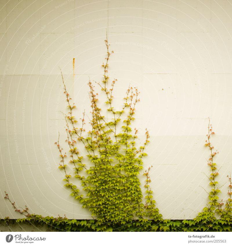 zarte Eroberung Natur Pflanze Efeu Grünpflanze Wildpflanze Kletterpflanzen Wandbegrünung Selbstklimmer selbstklimmender Wein Weingewächse Mauerwein
