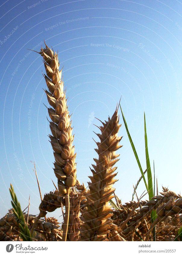 Eine Frage der Ähre Himmel Weizen Ähren