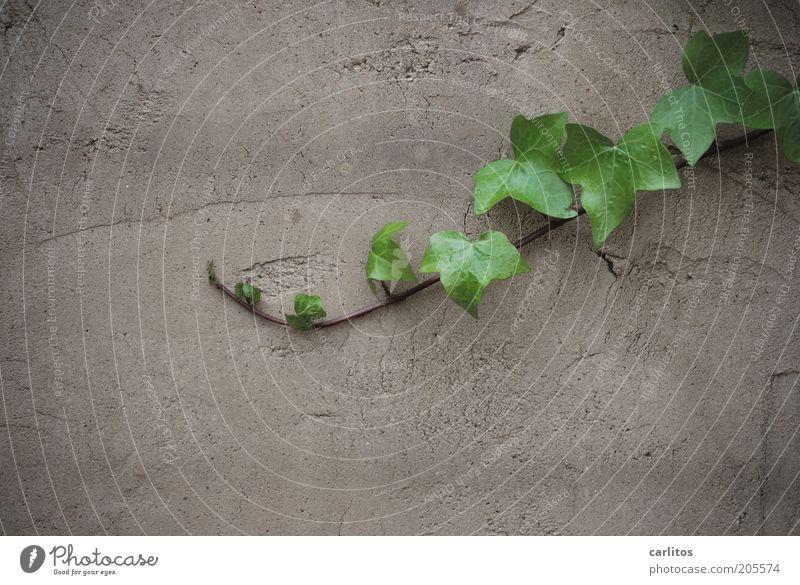 Immer an der Wand lang..... grün Pflanze Sommer Blatt grau Mauer Wachstum Putz Ranke Efeu Grünpflanze ausbreiten Putzfassade
