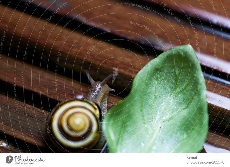 Schnecken-Mittagessen Lebensmittel Ernährung Umwelt Natur Tier Frühling Sommer Klima Pflanze Blatt Grünpflanze Nutzpflanze Topfpflanze Basilikum Basilikumblatt