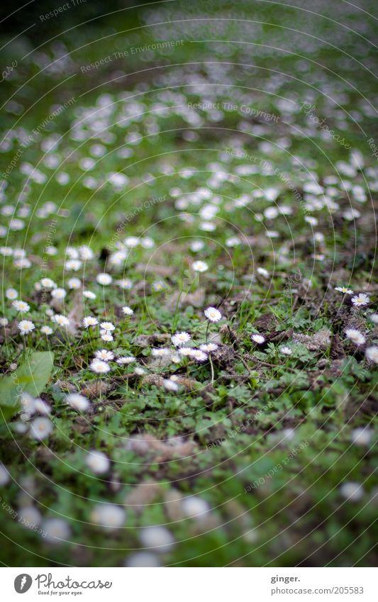 Grüner Teppich, weiß getupft Natur weiß Blume grün Pflanze Sommer Wiese Gras Frühling Wachstum Boden viele Moos Gänseblümchen Wildpflanze Unkraut