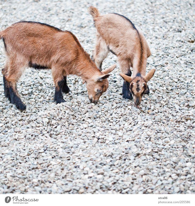 mmmmm, lecker steinchen Tier Stein braun klein Suche natürlich niedlich Geruch Zicklein Ziegen Nutztier steinig Tierjunges Steinboden Hausziege